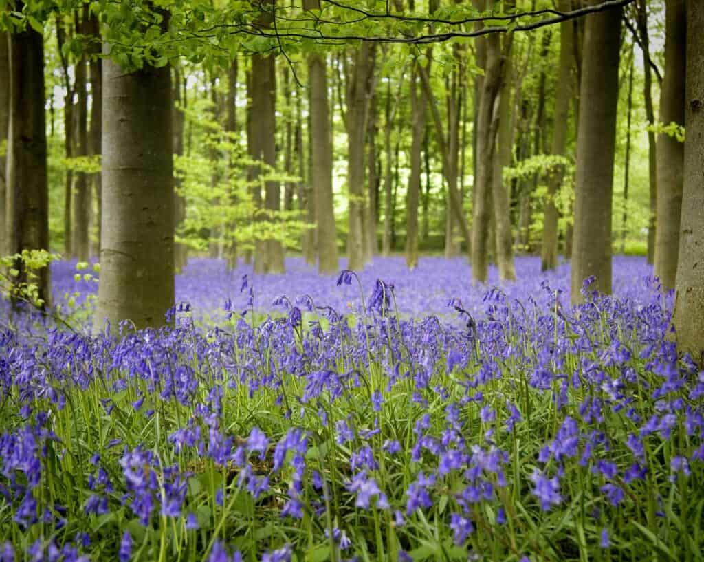 Removals Andover, Woodland with Bluebells, Hampshire