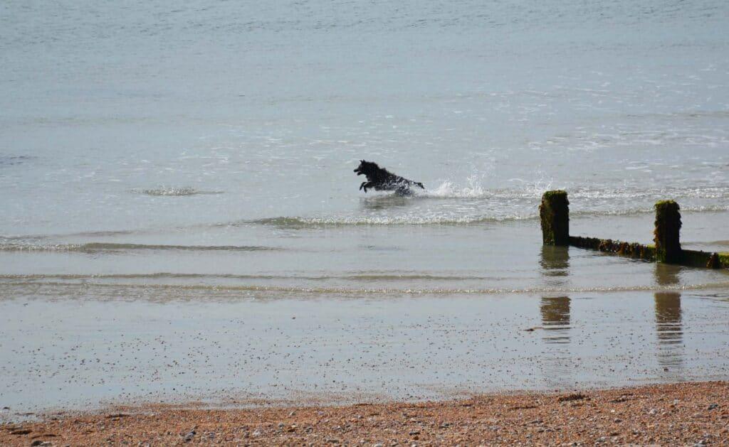 Dog in sea, Bognor Regis