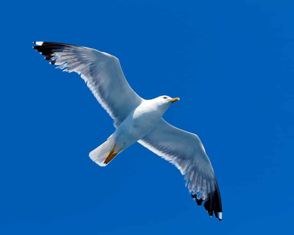 A white sea gull flying in the sky